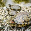 Daily Photo: Temple Turtles